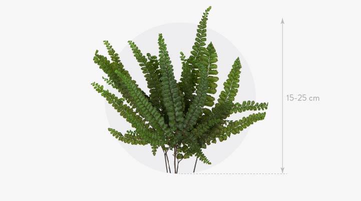 Felcy fern